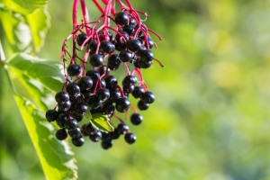 shutterstock_154309295 black elderberries Dec15