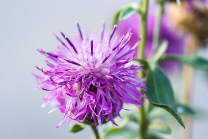 Close up of a milk thistle flower