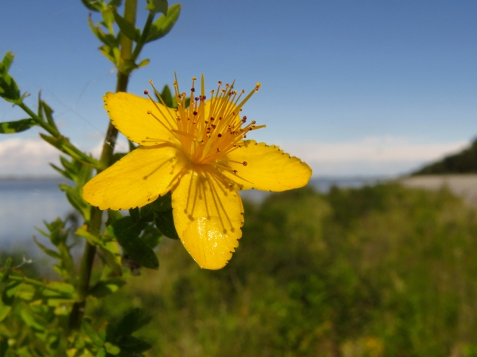 Close up of a St John's Wort Flower with blue sky background